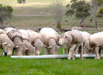 MJ Bale Sheep Merino Ewes Wethers Quest to produce world's first carbon neutral fleece End of day – SFB Dispensing unit - Western Riverina NSW July 2020