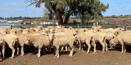 75 Scanned Undetectable Ewes